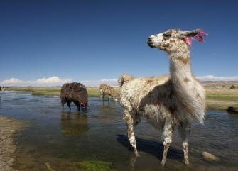 Lonely Llamas - BOLIVIA