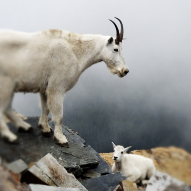 Mama goat and baby