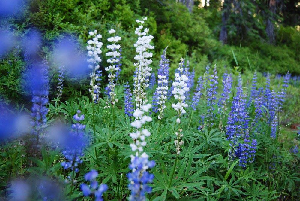 White Lupines