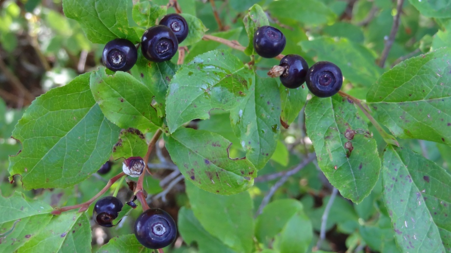 Fresh Huckleberries