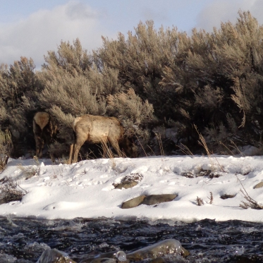 Elk just across the stream